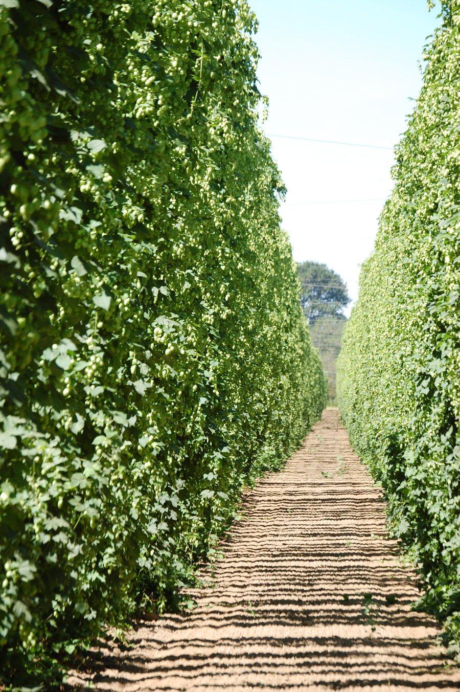 Oregon hops