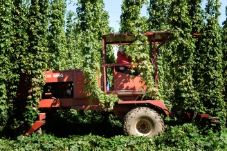 2. Trimming: The harvest begins with cutting the bines just above the ground. Then large machines go through the hopyard and cut the bines from the wires. The loose bines fall into trucks and are brought to the processing area.