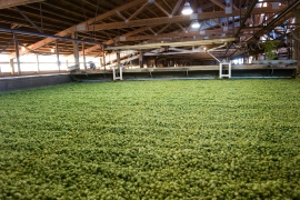 5. Kilning: Big furnaces heat the hops to 145 degree F to 155 degree F to bring down moisture levels so the hops can be stored and shipped.