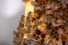 Rogue Grows Bees
