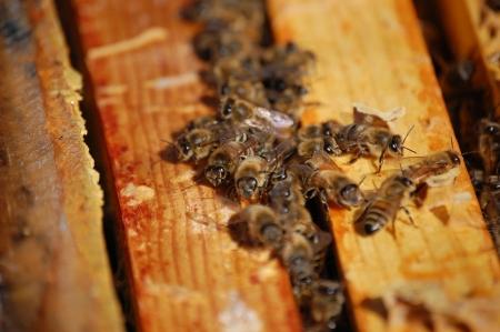 Rogue Honeybees