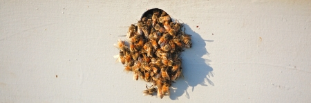 Rogue Honeybees