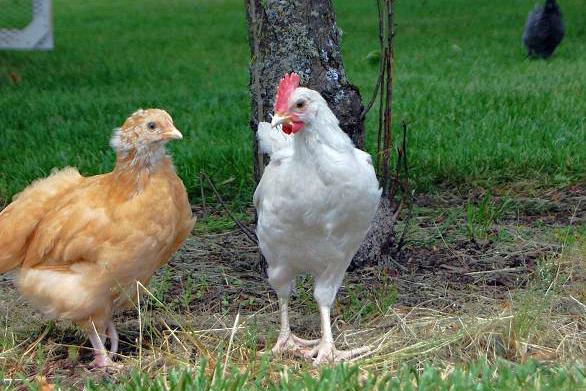 free range chicks rogue hopyard rogue farms