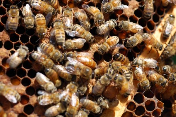 Rogue Honeybees 19 Original Colonies Mead Rogue Farms Hopyard Independence Oregon