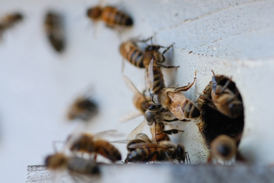 Sensitive to cold, honeybees rarely leave the hive during winter months.