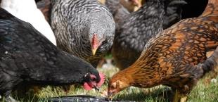 free range chicks rogue farms hopyard