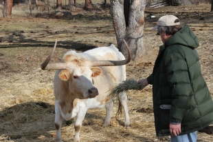 Doc Feeding Cattle Jan 2013web