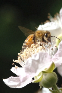honey bees, honeybees, caffeine, rogue farms, rogue hopyard, hopyard, honey, independence, oregon, rogue beers, rogue ales, craft beer