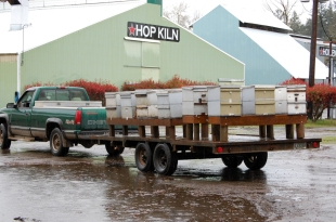 100 nucs means 100 new hives. And moving them into position requires a big truck and trailer.