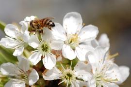 Rogue Honeybee