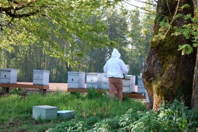 So where will the 100 additional hives be placed? We'll place them alongside the Willamette River. That's a prime spot for the honeybees to forage on wild summer blackberries. They can also fly across the river to forage in the wildflowers of the Ankeny Wildlife Refuge.