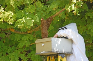 Josh places a box under the cluster, shakes the limbs, and the bees fall into the box.