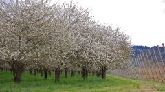 cherry cherries orchard