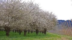 cherry cherries orchard