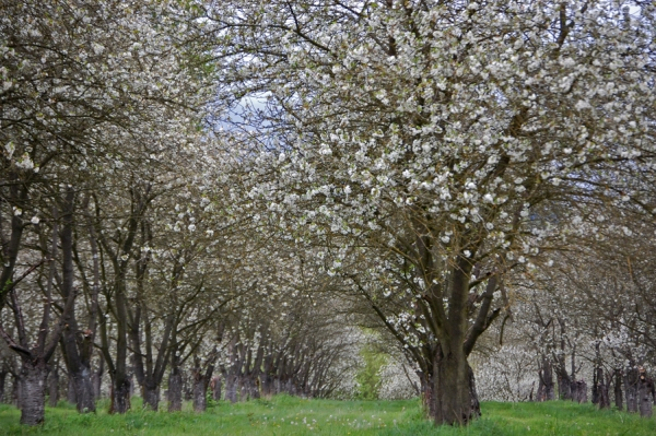 The cherry orchard next to the Rogue Farms Hopyard. When this bloom starts, it almost always marks the beginning of the spring nectar flow.
