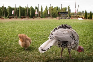 And onto the lawn behind the Chatoe Rogue. The turkeys have learned from watching the Chicks.