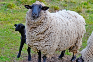 It will not be necessary to bring your own sheep to the workshop.
