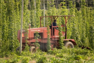 Hop Harvest 01 web