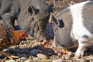 But the pigs will also share their food.