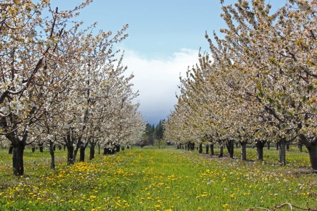 Rogue Farms cherry trees in bloom.