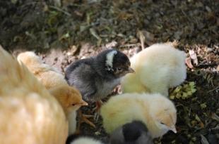 nancy and chicks