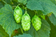 rogue farms hops