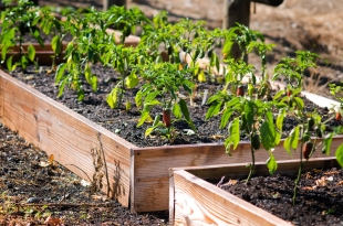 Look for the jalapenos in raised garden boxes at various locations around the Hopyard.