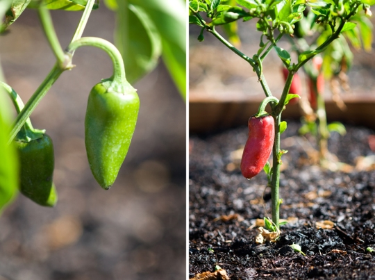 Peppers Collage