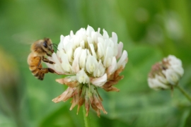 Bee Clover 6.20.13 (62) crop web
