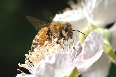honeybee blackberry