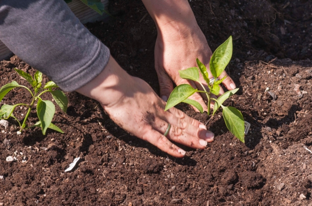 Although it takes longer to do it this way, we planted each pepper pot by hand. The more work you put into the in