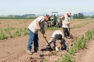Planting Yaquina Hops07 web