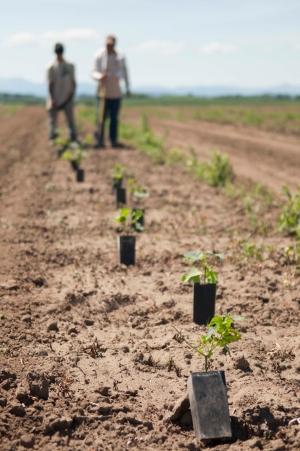 Planting Yaquina Hops18 web
