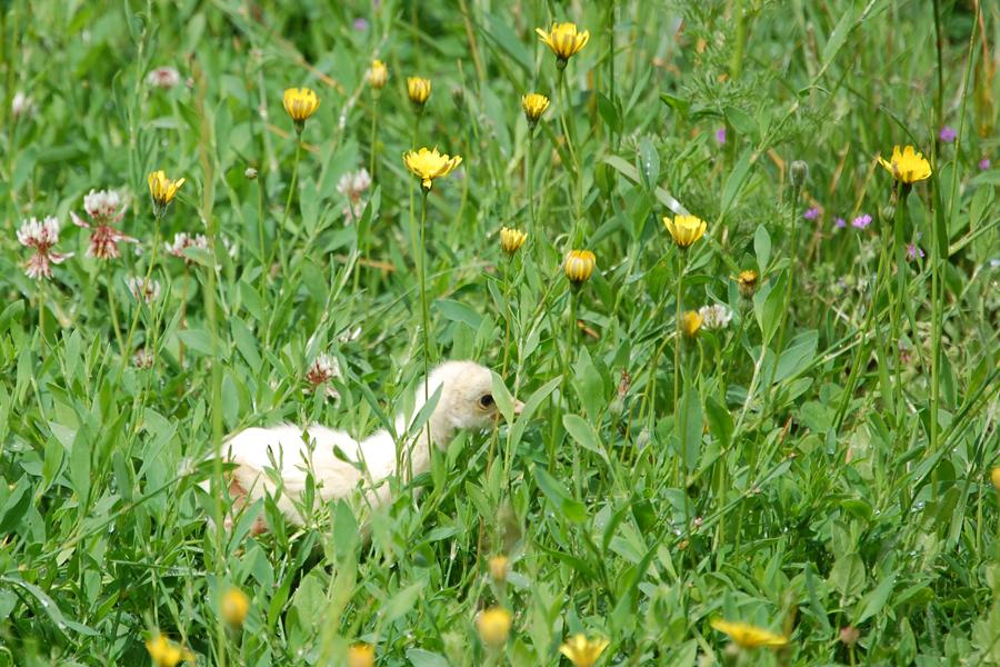 Turkey chick