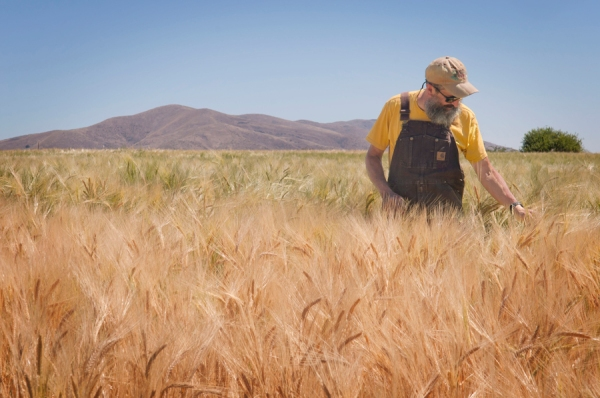 John in the field of Dare malting barley. The Dare is green turning brown, which tell us the grain is in the final stages of hardening and ripening.