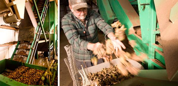 hazelnut harvest collage 2