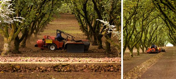 hazelnut harvest collage