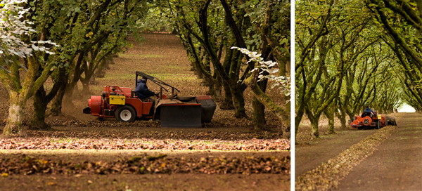 hazelnut harvest collage