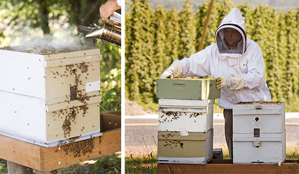 Two of the biggest threats to honeybees are varroa mites and fungal diseases. Both can be controlled with the proper medications.