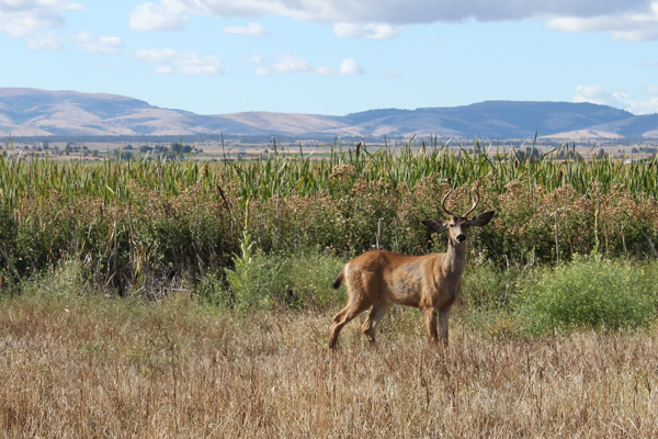 A young buck stops to see what's going on.