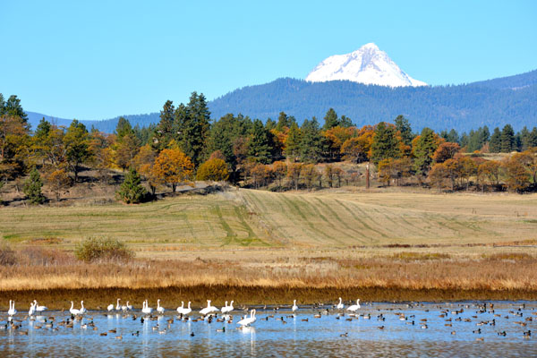 Tundra swans, Buffleheads, Mallards and other waterfowl visit the farm every fall. We built two dozen ponds and streams to provide habitat for wildlife.