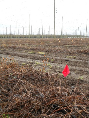 A red flag marks the spot of a male hop rhizome. We'll return to remove the rhizome before it grows into a full bine.