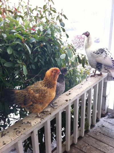 chicks and turkey