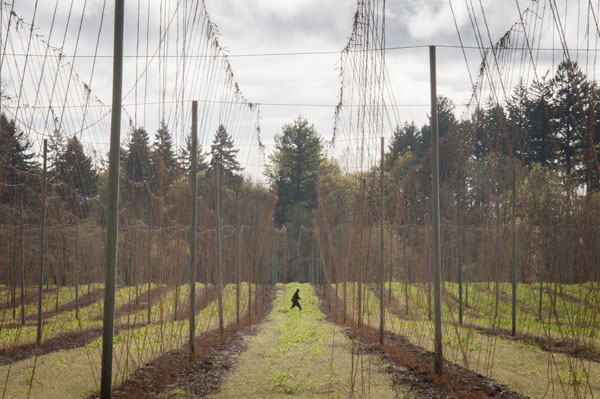 A fully strung hopyard. In case you're wondering, that shadowy figure is not Bigfoot.
