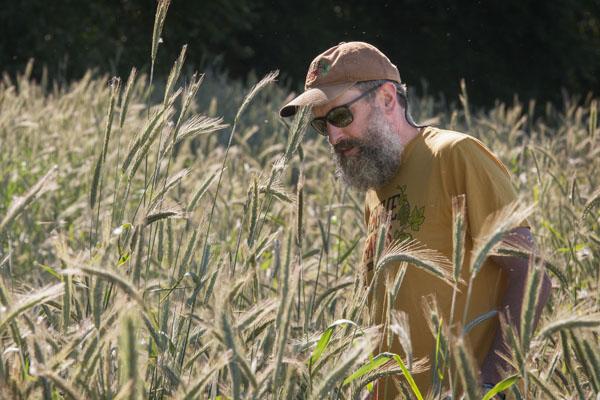 John Maier inspecting the Dream Rye last summer.