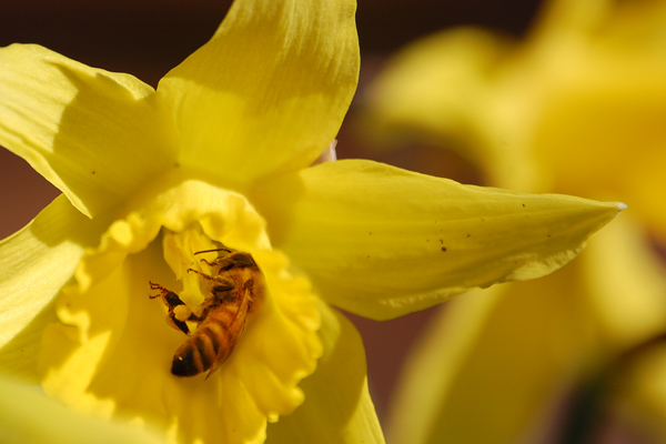 A Rogue Farms Honeybee collecting nectar and pollen from a daffodil.