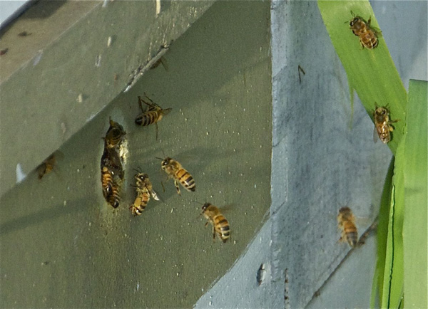 Rogue Farms honeybees returning from a trip to the cherry orchards.
