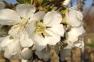 blossoms thumbnail