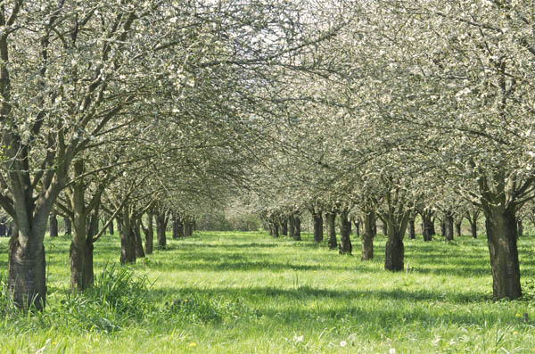 April in the cherry orchards next door to Rogue Farms.