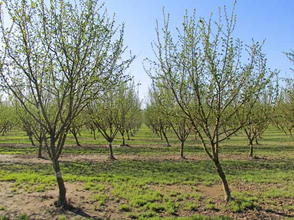 The hazelnut orchards next door to Rogue Farms at Kirk Family Filberts.